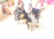 German shepered puppies for sale