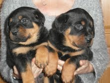 X-mass vet checked rototillers puppies available now