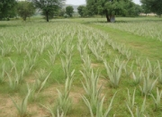 Aloe vera and medicinal plant's cultivation training program at pink city
