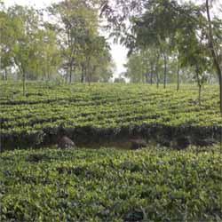 Original orthodox 200 hector tea garden sale in darjeeling dist