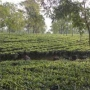 Original Orthodox 200 hector Tea Garden Sale in Darjeeling dist