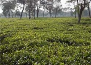 Available for Sale High Quality Tea Garden in Dooars