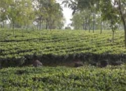 High Quality Tea Garden Sale in Darjeeling dist