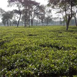 Available for sale dooars based ctc/green tea garden