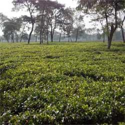 Dooars based ctc/green tea garden is on sale