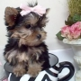 Two Teacup Yorkies Puppies!!