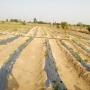 aloevera medicinal plant cultivation