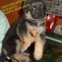 FRIENDS KENNEL ~KOLKATA OFFERS ALL TYPES OF PURE BREED PUPPIES FOR SALE