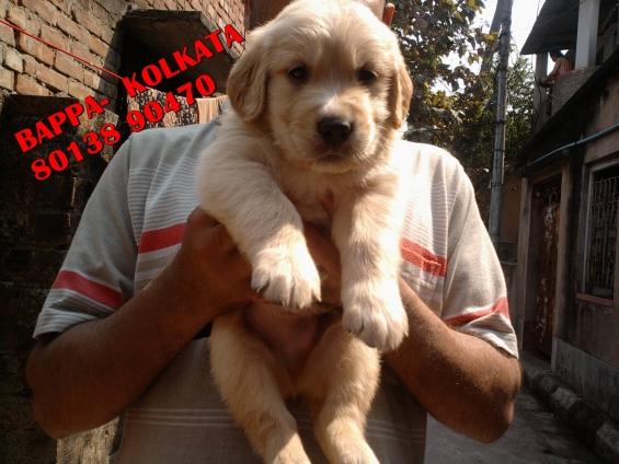 Champion pedigree golden retriever puppies available ~ friends kennel~ kolkata