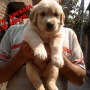 CHAMPION PEDIGREE GOLDEN RETRIEVER PUPPIES AVAILABLE ~ FRIENDS KENNEL~ KOLKATA