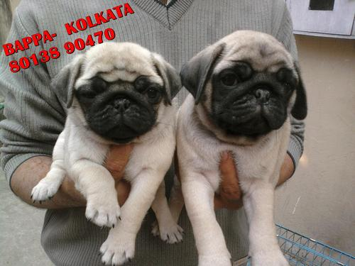 Kci registered cute hutch pug puppies available~ friends kennel !! kolkata