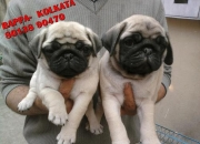 Kci registered cute hutch pugpuppiesavailable~ …