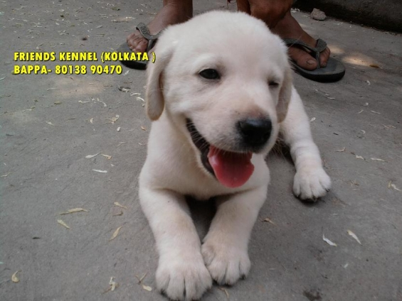 Show pedigree labrador dogs pups available ~ friends kennel !! kolkata