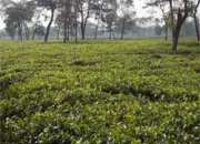 CTC Tea Garden Ready to Sell at Affordable Price