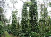 7.88 Acres  Maintained coffee estate for sale Distance Madikeri to 3Km Main Road side (