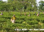 Tea Garden on Sale in Dooars and Darjeeling