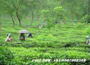 Urgent Sale Tea Garden at Low Price