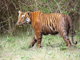 Pictures of Bandipur safari lodge - bandipur tiger reserve 6