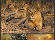 Summer Lion Tracking Tour packages | Gir Wildlife and Birding Tours | Gir Birding Lodge