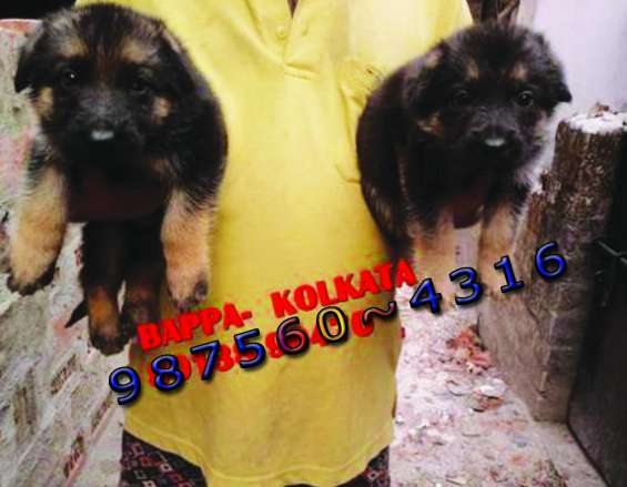 German shepherd dogs and puppies for sale at ~ pets house kolkata