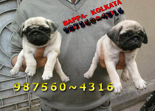 Imported quality pug puppies for sale at kolkata ~ tollygung