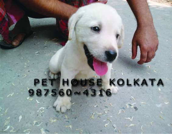 Labrador imported quality puppies and dogs for sale at rajarhat