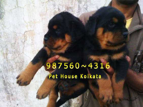 Rot wailer imported quality dogs and puppies for sale at shyambazar