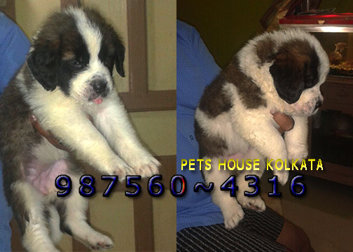 Saint bernard imported quality pets for sale at ~rajarhat